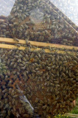 Honey comb with honey bees