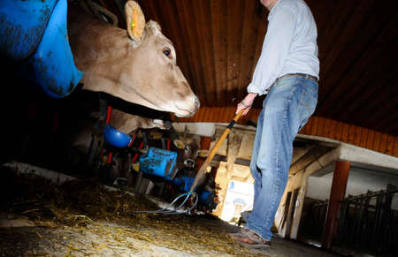 Farmer feeding his cows in the cowshed