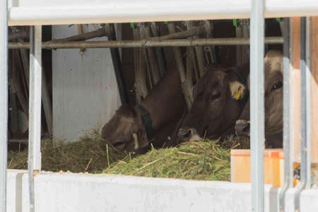 Animal feeding in the cowshed 스톡 콘텐츠