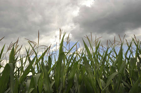 Corn field with clouded sky in the background