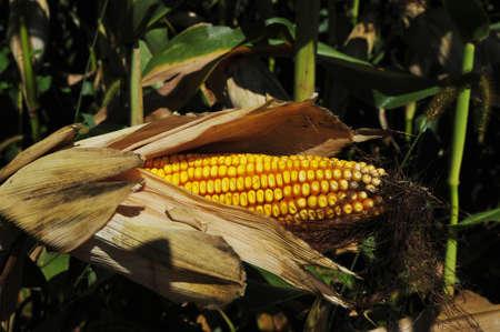 Corncob in a corn field 스톡 콘텐츠