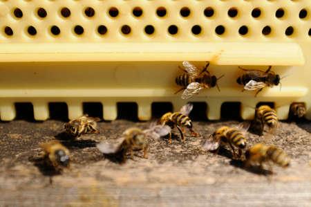 Bees at their beehive, closeup 写真素材