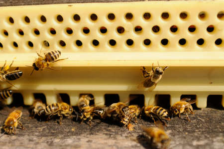 Bees at their beehive, closeup Reklamní fotografie