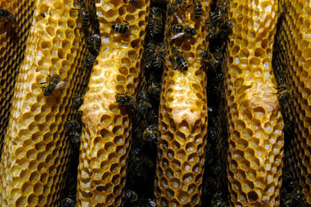 Wild bees and honeycomb closeup