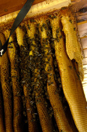 Wild bees and honeycomb in the attic Banque d'images