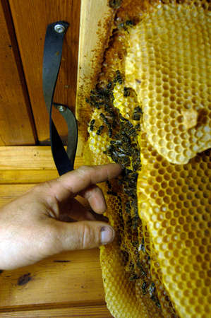 Wild bees in the attic, finger touching honeycomb Reklamní fotografie