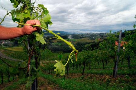hail damage in a vineyard