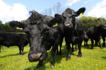 Angus cattle in the pasture