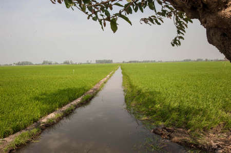 rice field in mekong delta, vietnam Reklamní fotografie