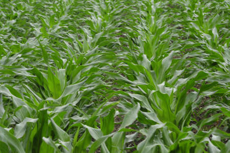 field of young corn or maize