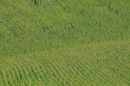 Corn field or maize field