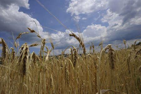 wheat ears in a wheat field Reklamní fotografie