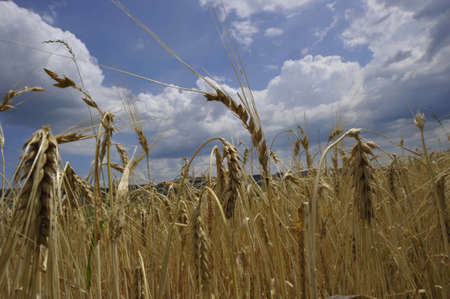common wheat field in agriculture