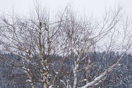 tree with snow in winter 写真素材