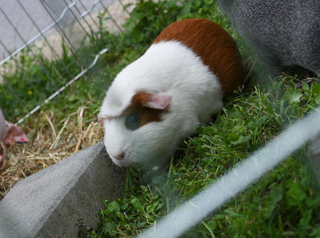 guinea pig on grass, behind fence