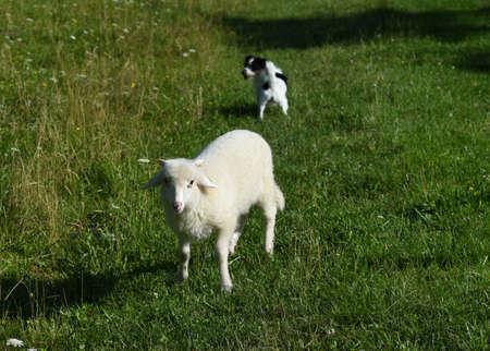 Shepherd dog and lamb on green meadow