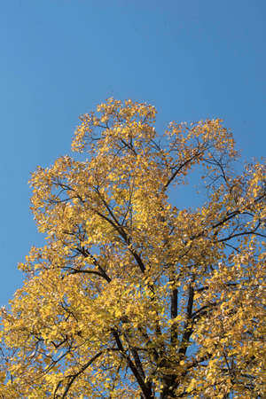 tree on a sunny autumn day, clear blue sky background