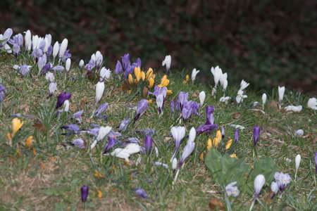 Crocuses blossom, a colourful spring awakening in the plant world