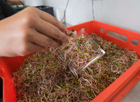 worker putting sprouts in a small box for further transportation