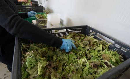 transport logistics for salad, worker putting salad leaves in boxes Reklamní fotografie