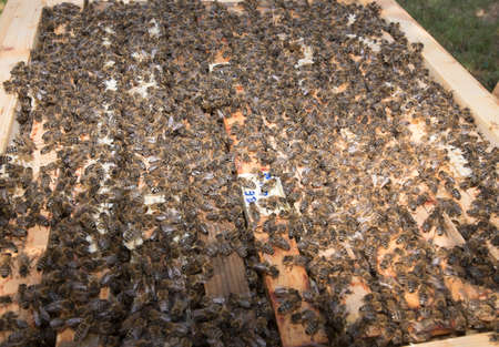 Beekeeper showing his honeycomb with lots of bees on it Banque d'images