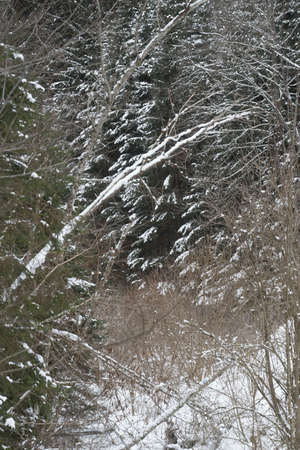 winter forest in the mountains, snow covered trees and plants Фото со стока
