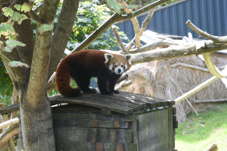 a red panda in an animal park, trees, meadow and wooden housing