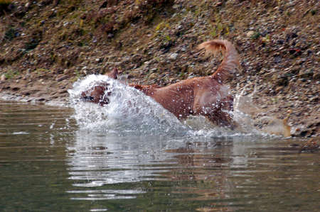 dog walking in a river, splashing water, in the forest