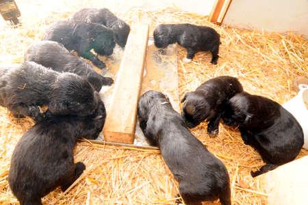 ten water dog puppies eating, hay floor in a barn