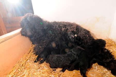 water dog mother feeding its puppies, hay floor in a barn