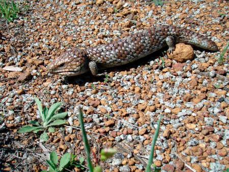iguana walking around on sandy and stony ground in the wild