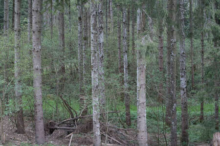 green fir trees standing in a forest, tree population in the forest