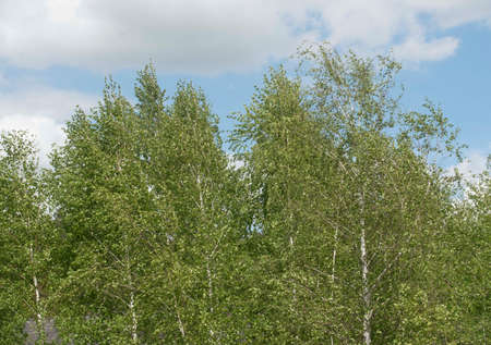 Birch tree in the landscape, deciduous tree with leaves in nature