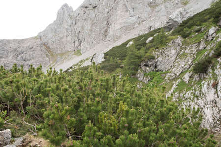 young and small mountain pine trees with green needle leaves