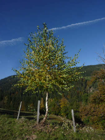 Birch tree in the landscape, deciduous tree with leaves in nature Stock fotó