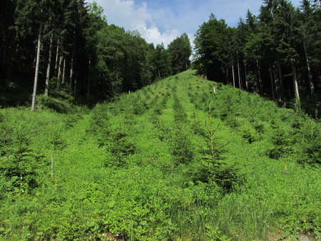 reforestation or reafforestation in a forest, tree planting and growing