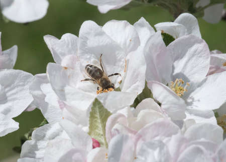 bee sitting on a flower blossom, flower pollination through flying animal