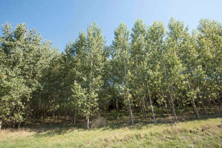poplar trees as energy wood growing in a short plantation