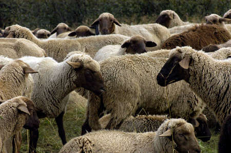 a grazing flock of sheep flock outdoor on the meadow Stockfoto