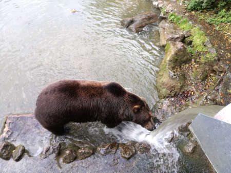 a brown bear or grizzly bear in its natural habitat