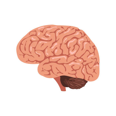 thalamus: Brain anatomy icon