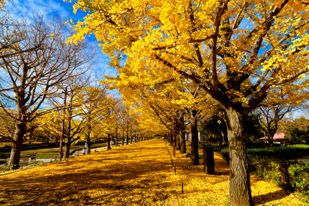 fall trees: Full bloom of golden yellow leaves in autumn at Showa Kinen Park - Japan Stock Photo
