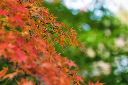 showa: Marple Red Leaves in Green Background at Showa Kinen Park - Japan