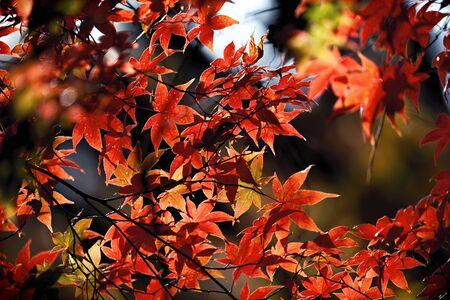 showa: Peak of Autumn Red Leaves at Showa Kinen Park - Japan