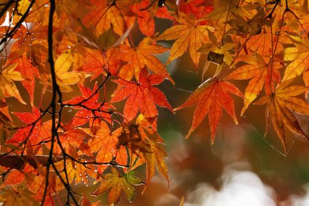 koyo: Autumn Red Leaves at Showa Kinen Park - Japan Stock Photo