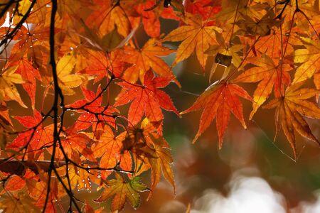 showa: Autumn Red Leaves at Showa Kinen Park - Japan Stock Photo