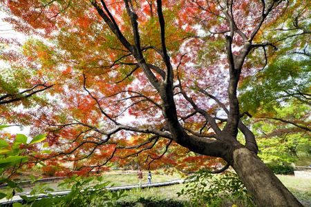 koyo: Big Autumn Tree at Showa Kinen Park - Japan