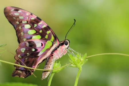 papillon rose: papillon Banque d'images