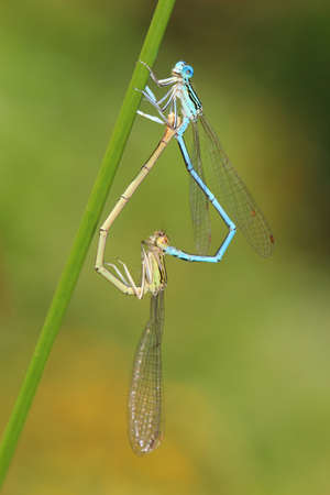 damselfly: insect