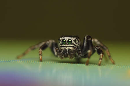 Jumping Spider Stock Photo - 15152576